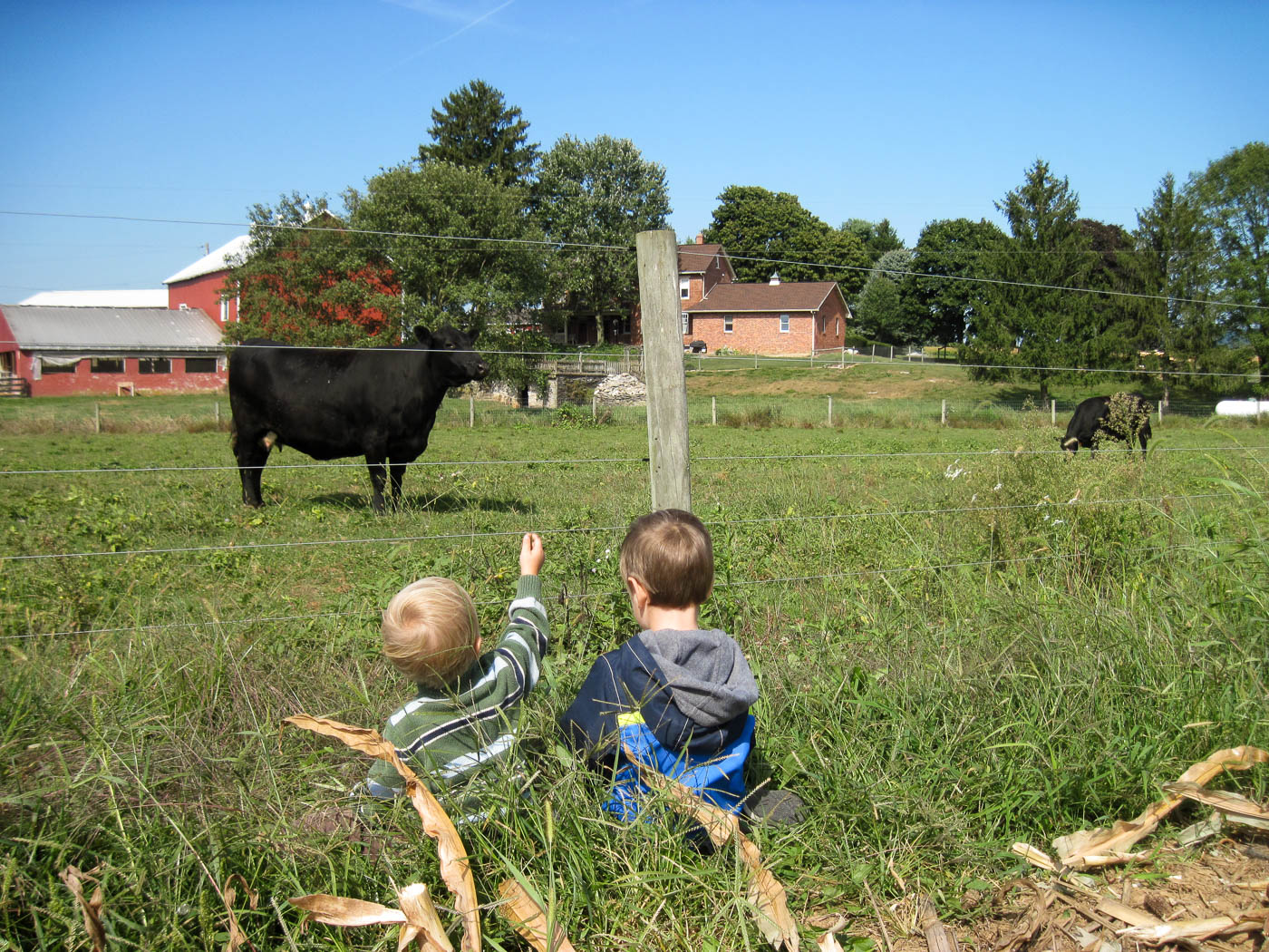 Entertained by grandpa\'s cattle